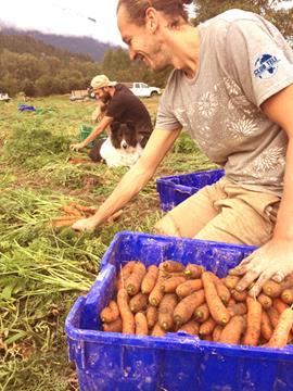 Ramassage de carottes